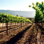 grapevines mountain vineyards hawk watch