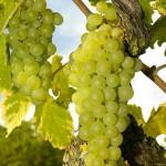orange muscat grapes rattlesnake vineyard